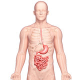 Anatomi av den mänskliga magen Royaltyfri Foto