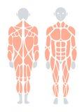 Anatomi av den mänskliga muskeln i baksida och framdelen, vektor infographic e Fotografering för Bildbyråer