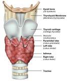 Anatomi av den medicinska illustrationen 3d för sköldkörtel fotografering för bildbyråer