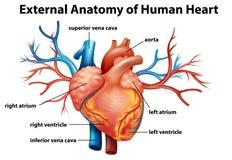 Anatomi av den mänskliga hjärtan Royaltyfri Foto