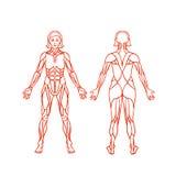 Anatomi av det kvinnliga muskulösa systemet, övning och stock illustrationer