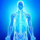 Anatomi av det mänskliga skelett i blue Arkivbild