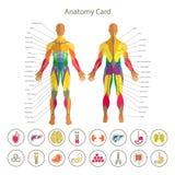 Anatomi av det male muskulösa systemet Främre och bakre sikt Medicinsk symbolsuppsättning för mänskliga organ Arkivfoto