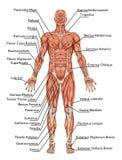 Anatomi av det muskulösa systemet för man stock illustrationer