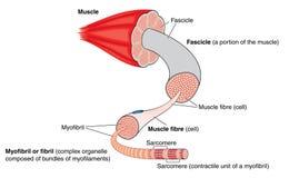 Anatomi av en muskel stock illustrationer