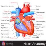 Anatomi av hjärta vektor illustrationer