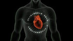 Anatomi av hjärtan vektor illustrationer