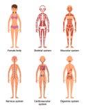 Anatomi av kvinnlign Vektorillustration av nerver och muskulösa system, hjärta och andra organ stock illustrationer