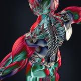 Anatomi av människan Royaltyfria Foton