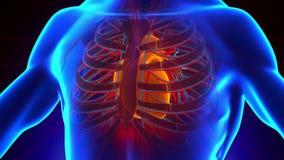 Anatomi av mänsklig hjärta - medicinsk röntgenstrålebildläsning lager videofilmer
