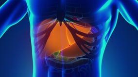 Anatomi av mänsklig lever - medicinsk röntgenstrålebildläsning arkivfilmer