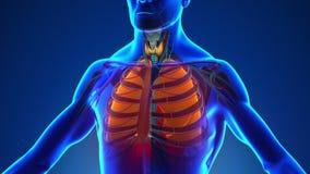 Anatomi av mänskliga lungor - medicinsk röntgenstrålebildläsning vektor illustrationer