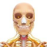 Anatomi av nervsystemet för mänskligt huvud med halsen royaltyfria bilder