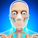 Anatomi av skelett för mänskligt huvud i blue Arkivbild