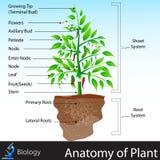 Anatomi av växten stock illustrationer