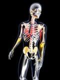 Anatomi - bröstkorgen smärtar Royaltyfri Fotografi