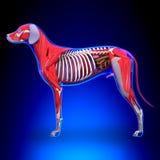 Anatomi för inre organ för hund - anatomi av en manlig hund inre Org vektor illustrationer