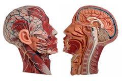 Anatomi för mänsklig framsida som isoleras på vit arkivfoto
