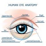 Anatomi för mänskligt öga royaltyfri illustrationer
