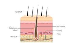 Anatomi för mänskligt hår på isolerat Royaltyfri Foto