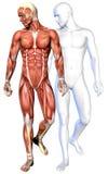 anatomi för manlig kropp 3d stock illustrationer