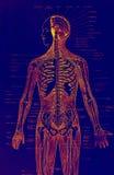 Anatomia ilustração do vetor