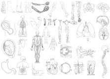 anatomia Zdjęcia Royalty Free