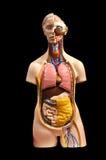 Anatomia Foto de Stock Royalty Free