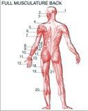 Anatomia Immagini Stock