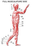 Anatomia Immagine Stock Libera da Diritti