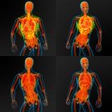anatomia Fotografie Stock Libere da Diritti