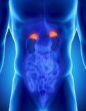 Anatomia adrenale maschio Immagini Stock