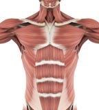 Anatomia anteriore superiore dei muscoli illustrazione di stock