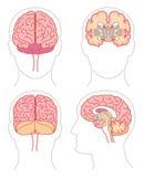 Anatomia - cérebro 1 Fotografia de Stock Royalty Free