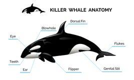 Anatomia da baleia de assassino ilustração do vetor