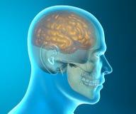 Anatomia da cabeça do raio X do crânio do cérebro Foto de Stock
