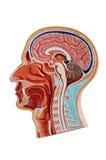 Anatomia da cabeça humana Imagem de Stock