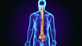 anatomia da coluna vertebral da ilustração 3d ilustração royalty free