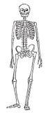 Anatomia de esqueleto Foto de Stock