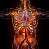 Anatomia degli organi umani nella vista dei raggi x illustrazione vettoriale