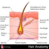Anatomia dei capelli illustrazione vettoriale