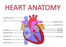 Anatomia del cuore Immagine Stock
