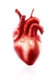 Anatomia del cuore fotografie stock libere da diritti