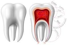 Anatomia del dente Fotografia Stock