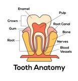 Anatomia del dente Immagini Stock Libere da Diritti