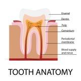 Anatomia del dente di vettore Immagine Stock Libera da Diritti