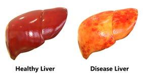 Anatomia del fegato degli organi del corpo umano illustrazione di stock