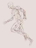 Anatomia del muscolo Immagini Stock