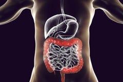Anatomia dell'apparato digerente umano con l'intestino crasso evidenziato Fotografia Stock