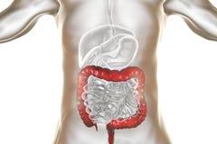 Anatomia dell'apparato digerente umano con l'intestino crasso evidenziato Immagine Stock